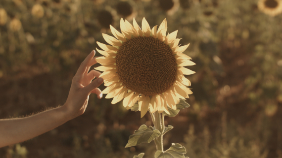 sunflower by Román Reyes girasol por Román Reyes  (Still del proyecto #XY @hypnosfilms desarrollado por Román Reyes)  http://romanreyes.net http://hypnosfilms.com